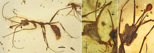 Ceratomyrmex ellenbergeri (fossiles préservés dans l'ambre crétacé du Myanmar). Vue générale et vue latérale et ventrale de la tête montrant les mandibules surdimensionnées (flèches noires) et la corne frontale spatulée (flèches blanches). © V. Perrichot