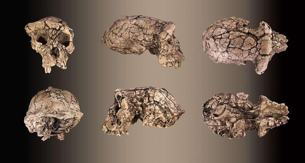 Moulage du crâne holotype non reconstruit de Sahelanthropus tchadensis TM 266-01-060-1, surnommé Toumaï. © Didier Descouens, Wikimedia commons, CC 4.0