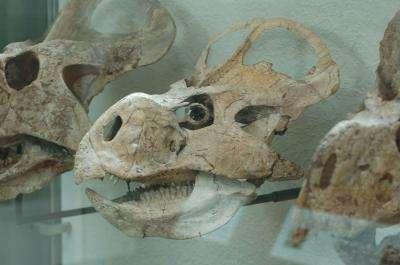 Protoceratops andrewsi était un dinosaure végétarien qui devait se nourrir jour et nuit. © Lars Schmitz, UC Davis