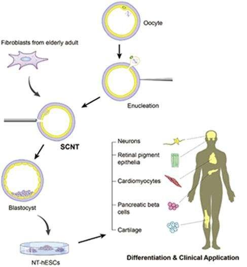 Ce schéma récapitule la méthode utilisée. Après énucléation (enucleation) de l'ovocyte (oocyte), on insère le noyau d'une cellule somatique (ici, cellule de peau adulte, fibroblast from elderly adult) dans le gamète féminin par les techniques de transfert nucléaire (SCNT). Après deux heures d'attente, les divisions cellulaires sont stimulées, jusqu'au stade blastocyste (blastocyst), à partir duquel on peut récupérer les cellules souches embryonnaires (NT-hESC), utiles pour réparer n'importe quel tissu de l'organisme. © Chung et al., Cell Stem Cell