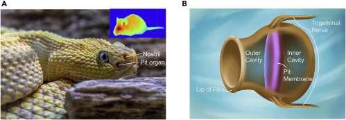 La fossette sensorielle et les narines sur une vipère. À droite, la structure de la fossette sensorielle avec la membrane qui la sépare en deux. © Faezeh Darbaniyan et al. Matter