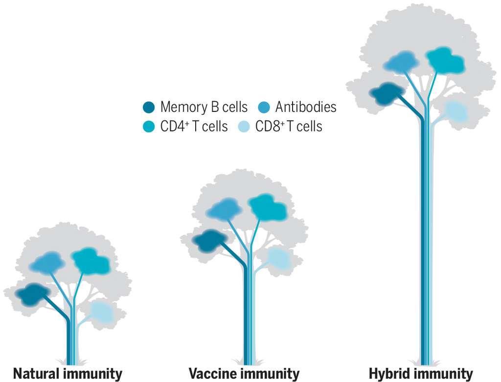 L'immunisation « hybride » (une dose de vaccin après une infection naturelle) offre la meilleure immunisation possible par rapport à la vaccination ou l'infection seule. © Shane Crotty, Science, 2021