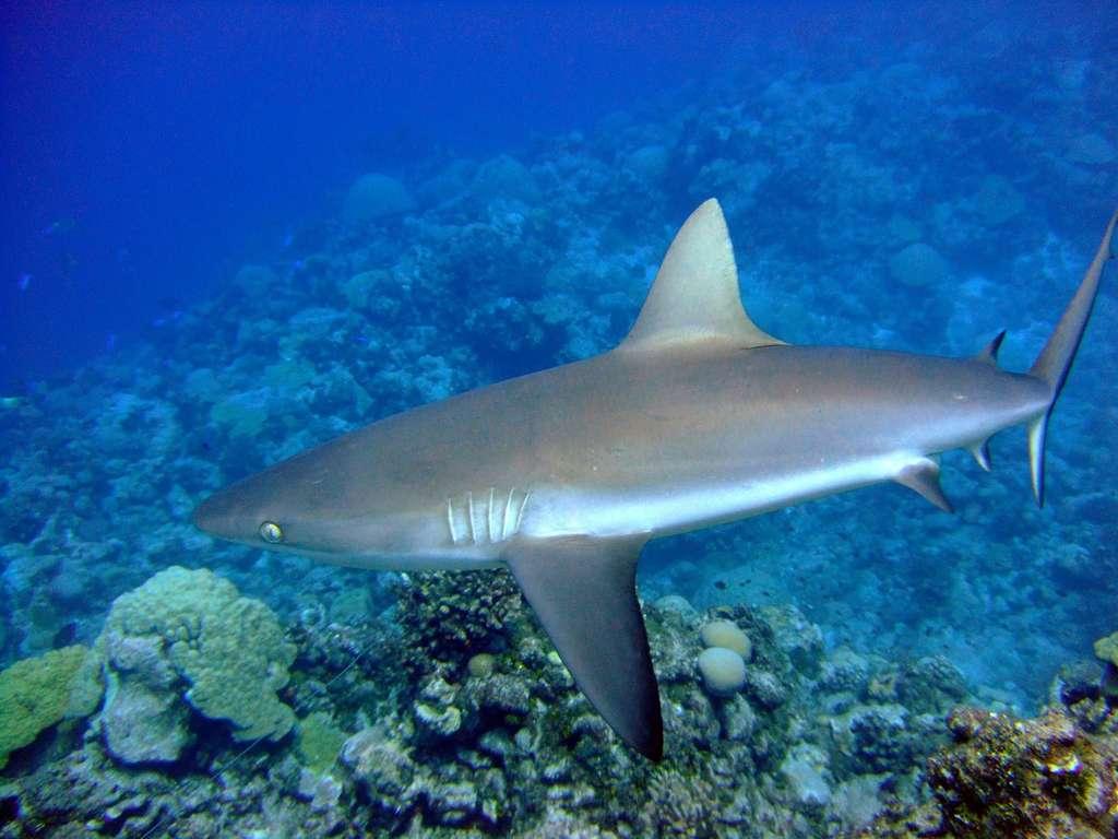 Le requin gris de récif est le requin le plus commun dans la bande équatoriale de l'Indo-Pacifique. Il peut vivre 32 ans et mesure en moyenne 1,9 m. Comme son nom l'indique, il vit dans les récifs coralliens. © NOAA