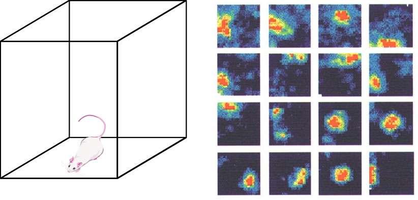 Chaque carré montre l'activité électrophysiologique (nombre de potentiels d'action) mesurée dans un neurone de lieu de l'hippocampe. Les zones bleues sont les endroits où le neurone a eu une faible activité (il n'a pas ou peu émis de potentiels d'action). Les zones jaunes, peu d'activité. Les zones rouges sont les endroits où le neurone a émis beaucoup de potentiels d'action, donc correspondant au « lieu préféré » du neurone. Enregistrements neurophysiologiques de neurones appelés les « cellules de lieu » dans l'hippocampe du rat pendant l'exploration d'un environnement cubique. Adapté de Min W. Jung, Sidney I. Wiener & Bruce L. McNaughton (1994). © CNRS/Wiener Sidney