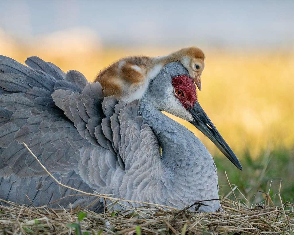 Grue du Canada. © Robin Ulery, Audubon Photography Awards 2021