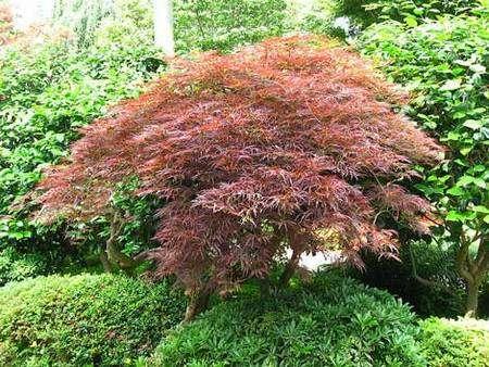 Érable du Japon (Acer japonicum) au village japonais du jardin du Musée Albert-Kahn, à Boulogne-Billancourt. © Line1, CC by-sa 3.0