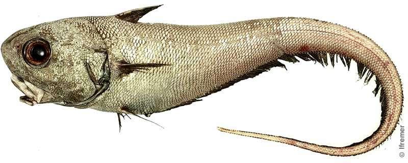 Le grenadier de roche se pêche depuis la fin des années 1980. © Ifremer