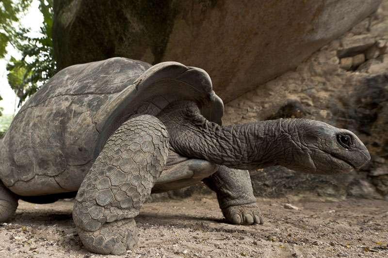 Tortue géante d'Aldabra. © Alexis Rosenfeld, reproduction interdite