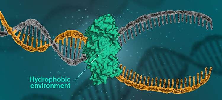 Pour que l'ADN soit lu, répliqué ou réparé, les molécules d'ADN doivent s'ouvrir et les brins se séparer. Cela se produit lorsque les cellules utilisent une protéine catalytique pour créer un environnement hydrophobe autour desdites molécules. © Yen Strandqvist, Université Chalmers
