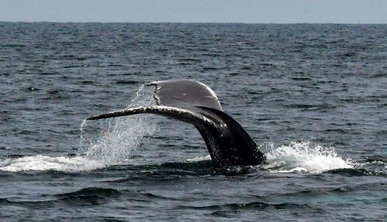 La queue d'une baleine à bosse dans l'océan Pacifique, en juillet 2019. © Luis Acosta, AFP/Archives