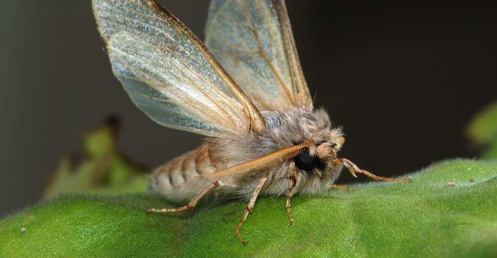 Papillon mâle de la processionnaire du pin (Thaumetopoea pityocampa). © Alvesgaspar, Wikimedia Commons, GFDL