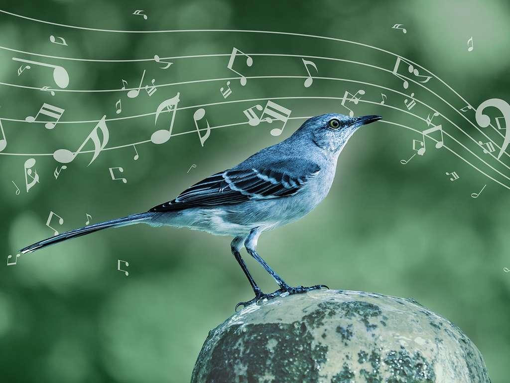 Le moqueur polyglotte utilise les mêmes règles musicales que Mozart ou Beethoven. © MPI for Empirical Aesthetics