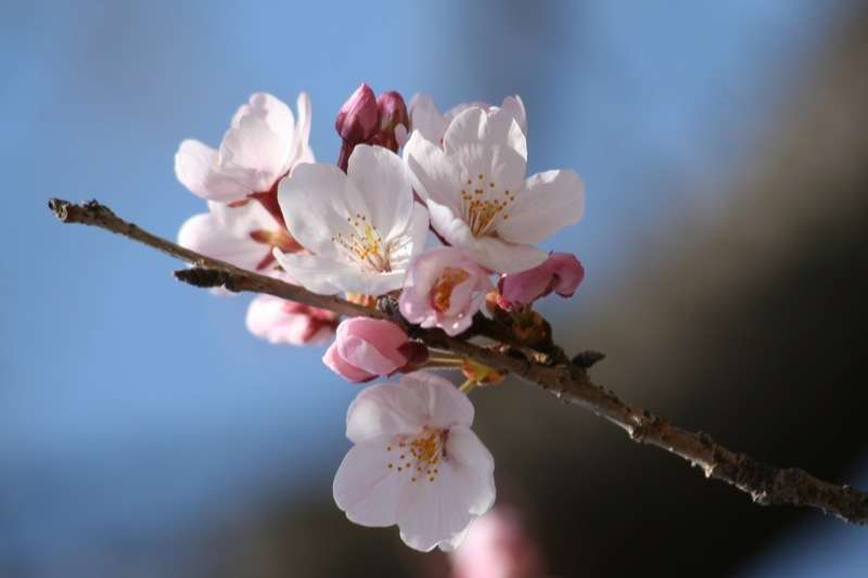 Prunus cerasus. © Nathan Duckworth, Flickr CC by nc-nd 2.0