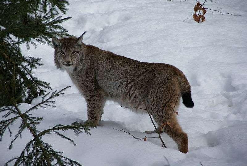 Lynx européen. © Aconcagua, GNU Free Documentation License, version 1.2