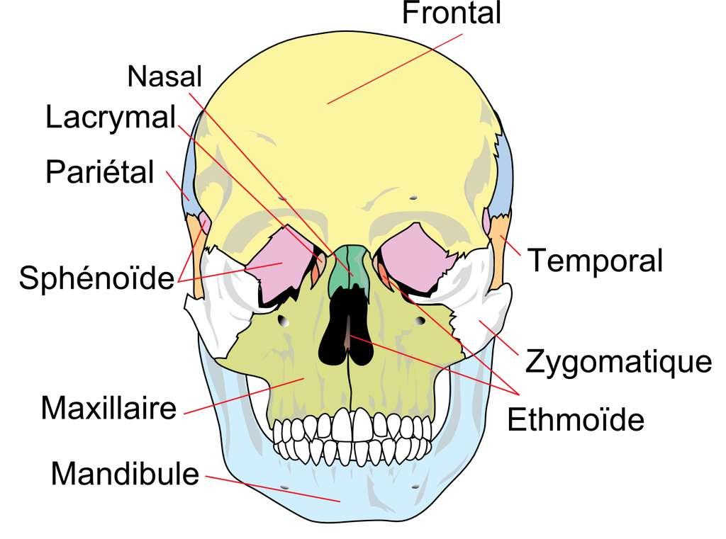 Position de l'os zygomatique (en blanc) au niveau du squelette de la face. © Toony, Wikipedia, CC by-sa 3.0