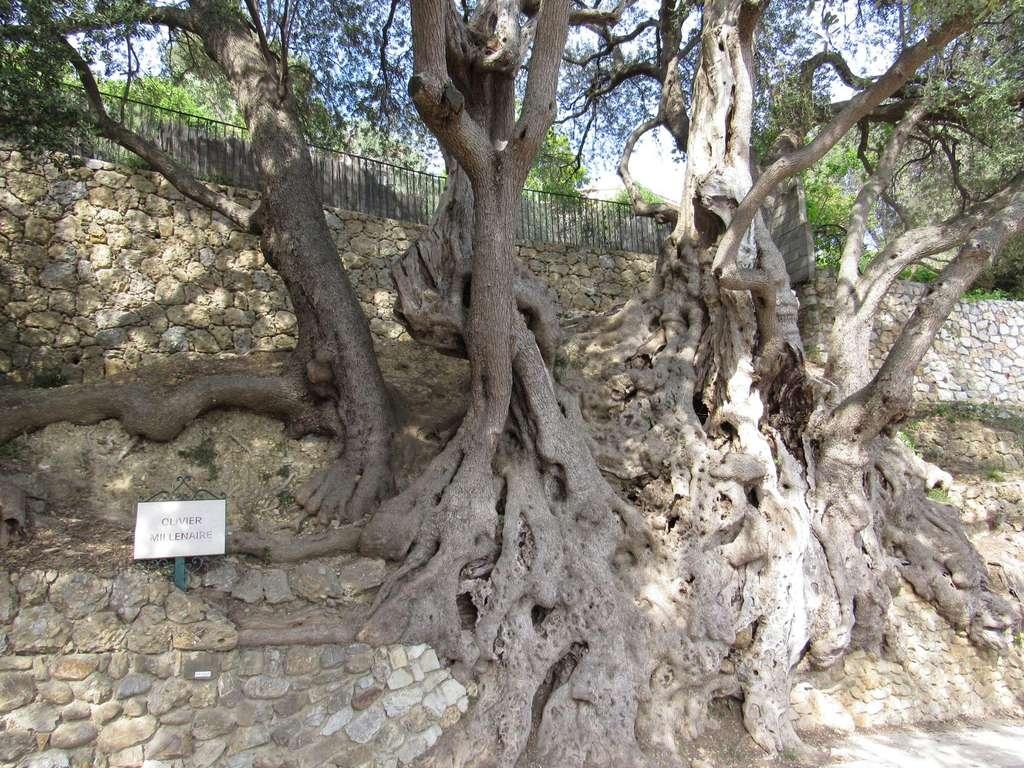L'olivier de Roquebrune-Cap-Martin aurait été planté il y a 2.000 ans. © Massy_e_Krice, TripAdvisor