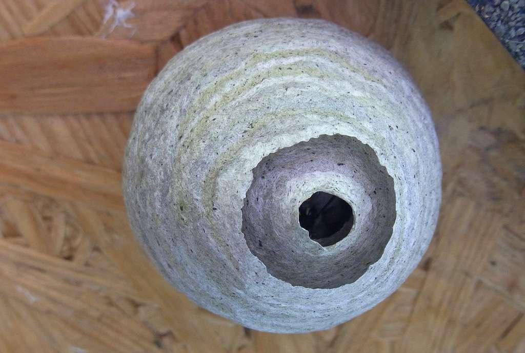 Les araignées qui vivent en France sont moins dangereuses que les guêpes — ici dans leur nid — ou même les moustiques. Une quinzaine de personnes périssent chaque année dans notre pays à la suite de piqûres de guêpe, abeilles ou frelons et aucune suite à une morsure d'araignée. © Tidy, Pixabay, DP