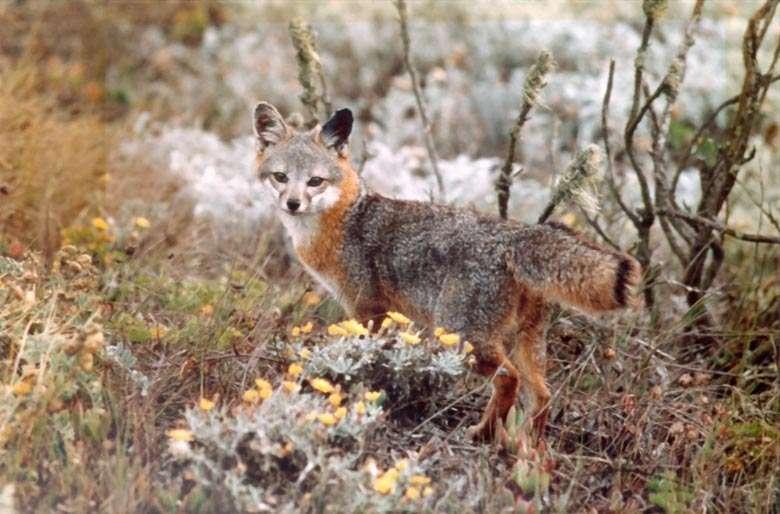 Ce renard gris insulaire a un cerveau plutôt gros pour sa taille. C'est une espèce menacée. © National Park Service