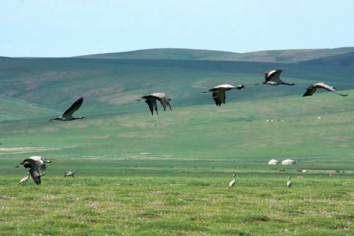 Vol de grues demoiselles en Mongolie. © Tomju48, GNU FDL Version 1.2