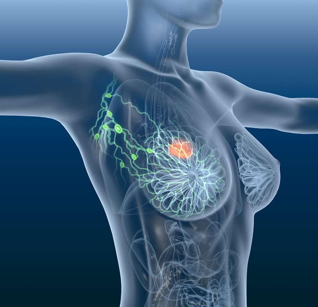 Cette illustration montre les différentes structures qui constituent le sein : des lobes glandulaires aux canaux lactifères en passant par le tissu adipeux et les vaisseaux sanguins et lymphatiques. © Axel Kock, Adobe Stock