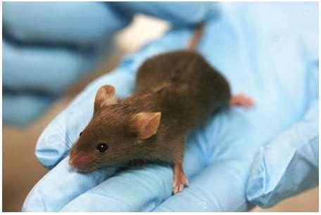 Pour la première fois, les scientifiques sont parvenus à créer des souches de souris capables de ne pas exprimer le gène Sirt1 sans mourir. Ainsi, les recherches portant sur le rôle précis de ce gène devraient prendre un autre tournant, car les scientifiques se limitaient aux modèles invertébrés. © Rama, Licence Creative Commons