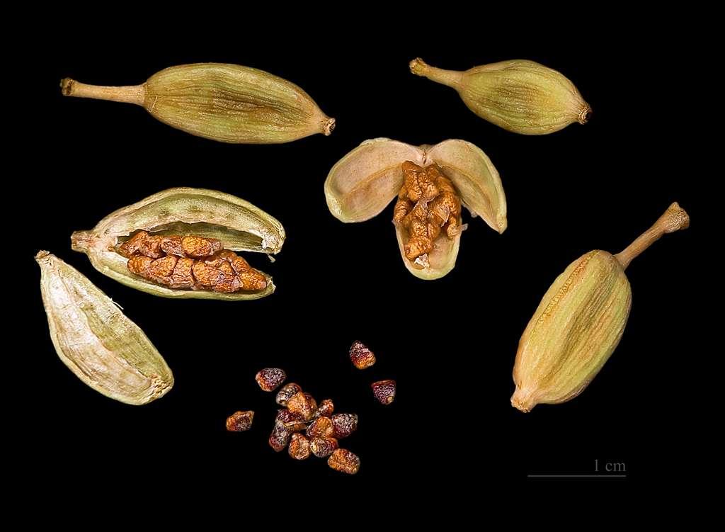 La cardamome est une plante herbacée originaire de l'Inde. © Didier Descouens