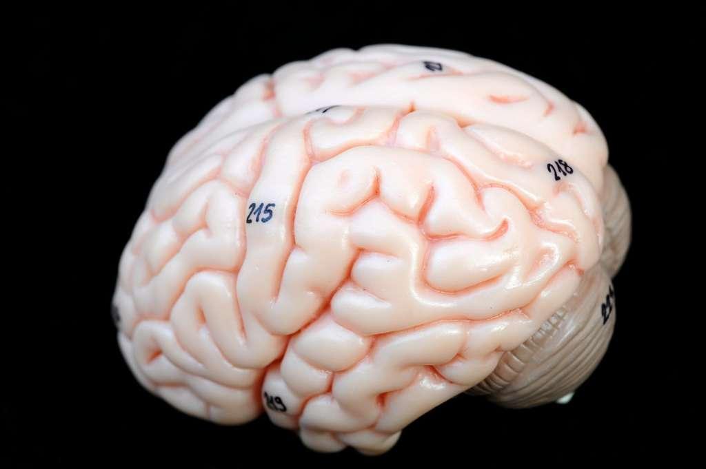 L'intelligence d'un être humain ne dépend pas de la taille de son cerveau, mais plutôt de sa structure et de la quantité de sang que les artères peuvent lui apporter. © Tinydevil, Shutterstock