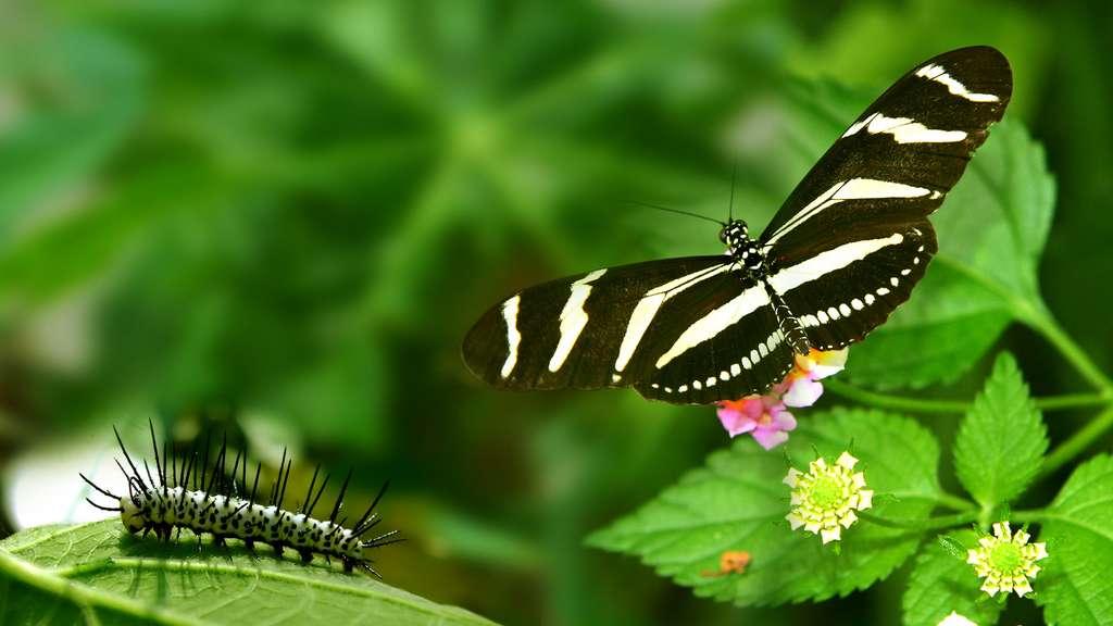 Heliconius charithonia, une chenille piquante pour un papillon zébré