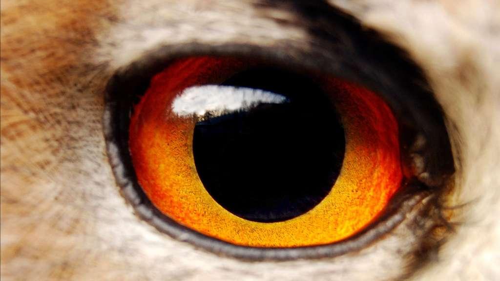 L'œil de l'aigle et sa vue perçante