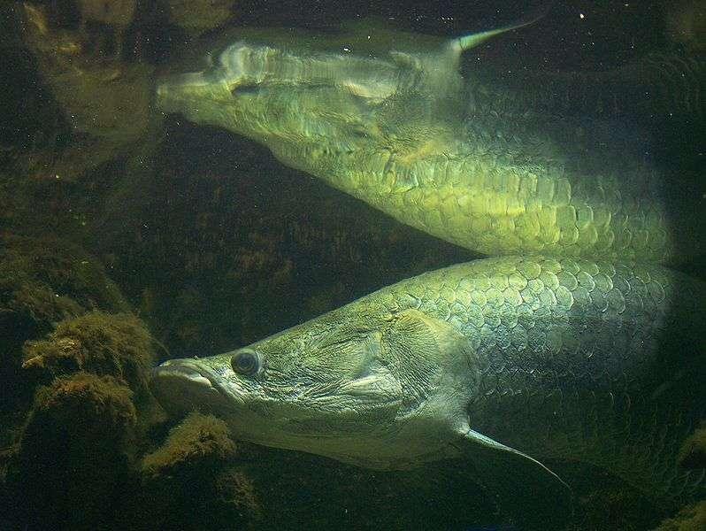 Avec ses 3 mètres et ses 180 kg pour les individus les plus massifs, l'arapaima, ou pirarucu, est le plus grand poisson connu de l'Amazone. Son poumon, en plus de ses branchies, lui permet de vivre dans des eaux pauvres en oxygène. Comme nombre de vertébrés d'eau douce, ce poisson est menacé, en l'occurrence par la surpêche car, quand il vient en surface pour respirer, il se fait facilement harponner. Mais là où des mesures de protection sont prises, l'arapaima se porte bien. © T. Voekler, Wikimedia Commons, CC by-sa 3.0
