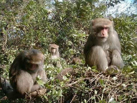 Groupe de macaques de Taïwan. © Minna J. Hsu, domaine public