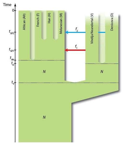 L'analyse génétique des restes de Néandertaliens a montré que des Hommes modernes non africains (ici les Chinois Han, les Français, les habitants de la Papouasie-Nouvelle-Guinée) ont hérité de 1 à 4 % de leurs gènes de l'Homme de Néandertal, probablement en raison de métissages. Les Dénisoviens, eux, ont légué de 4 à 6 % de leur matériel génétique aux Mélanésiens. Sur ce schéma, les flèches (notées f) indiquent les transferts successifs de gènes entre Néandertaliens (Neandertal), Denisoviens (Denisova) et Mélanésiens (Melanesian). N représente la taille effective des populations ; t et tGF (sur l'échelle du temps) marquent une séparation entre deux populations et la période où les flux de gènes ont eu lieu. © David Reich, Harvard Medical School, 2010