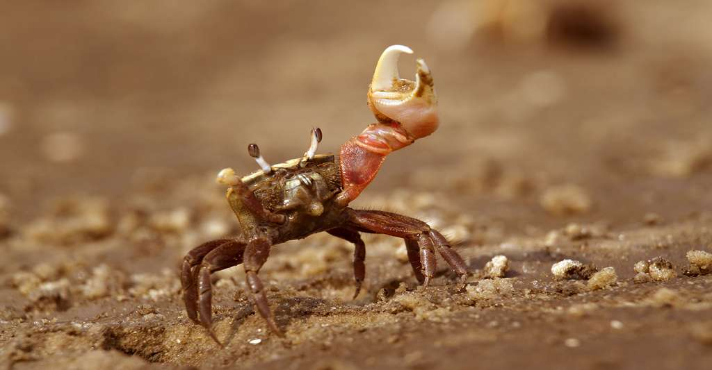 Crabe Uca pugilator de l'île d'Europa. © Ivan Kuzmin, Shutterstock