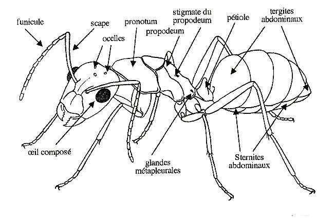 Anatomie détaillée d'une fourmi. © H. Müller