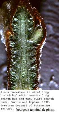 Pinus en coupe. © Curtis et al. Iowa SU, domaine public