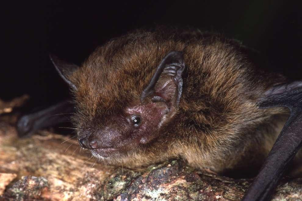 Pipistrellus murrayi, déclarée éteinte en 2017. © Lindy Lumsden, UICN