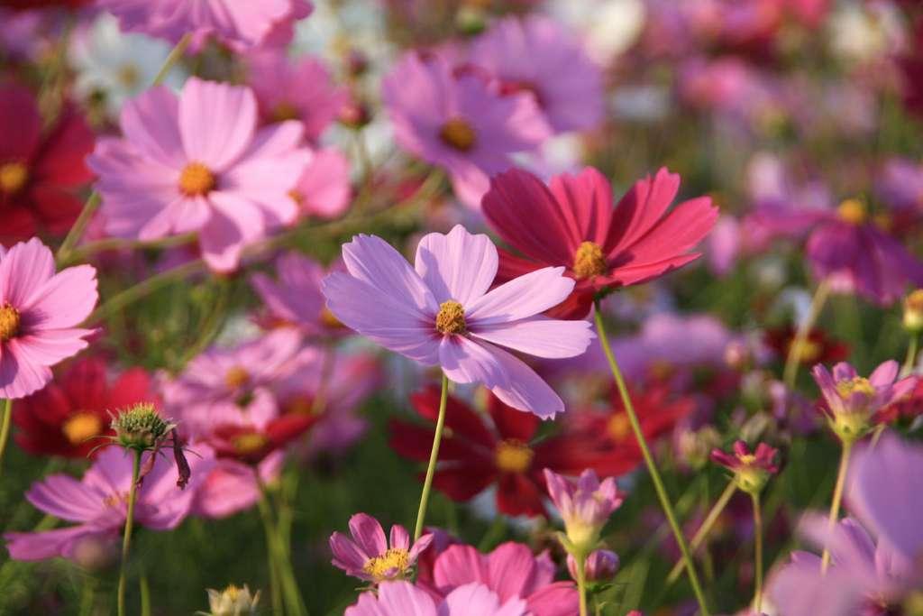 Certaines plantes annuelles comme le cosmos sont rustiques, leurs graines pouvant endurer le gel en attendant les beaux jours. © aiki, Flickr