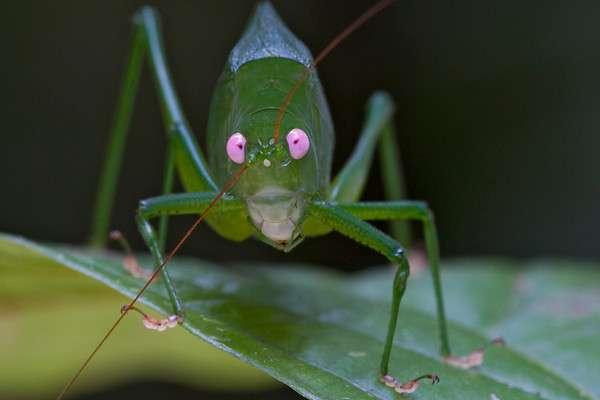 Ces superbes yeux roses se remarquent de loin. Ils appartiennent à une sauterelle repérée dans les monts Muller, classée parmi les Phaneropterinae, des orthoptères de la famille des tettigoniidés. © Piotr Naskrecki, iLCP