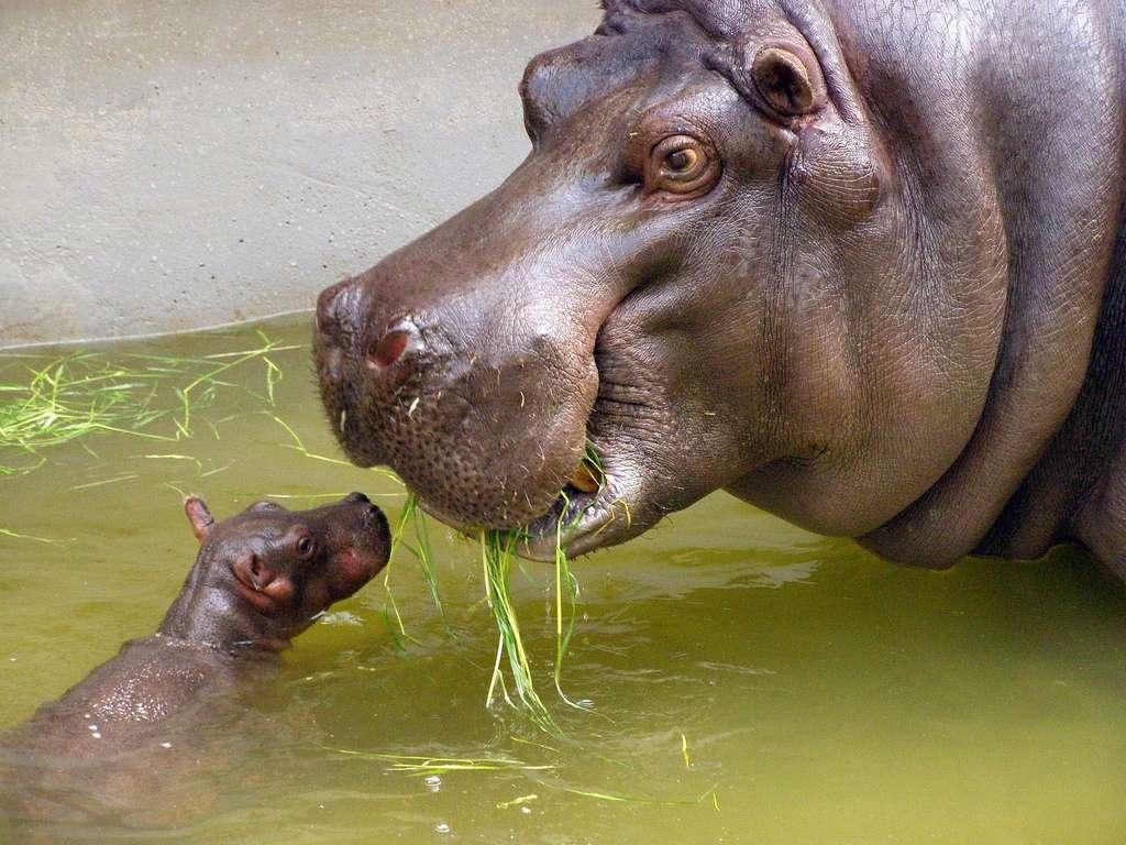 Le petit hippopotame, un bébé nageur