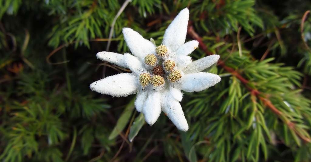La fleur d'edelweiss est un capitule de capitules. © Antelao, DP