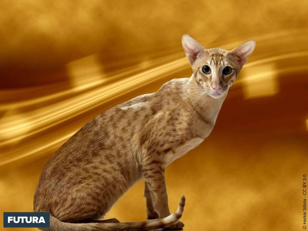 Chat Oriental shorthair red spotted tabby