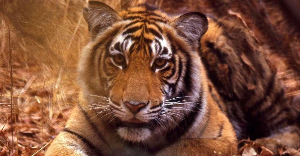 Tigre (Panthera tigris) juvenile. © Bernard Dupont - CC BY-SA 3.0