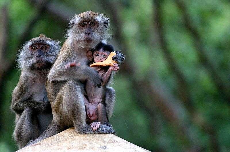Macaques à longue queue. © Albert, CC by-SA 3.0