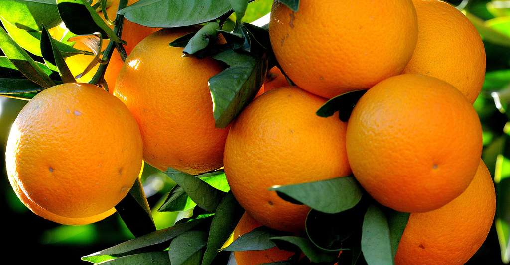 Oranges de la variété Kozan (Citrus sinensis var. kozan). © Zeynel Cebesci, Wikimedia Commons, CC by-sa 3.0