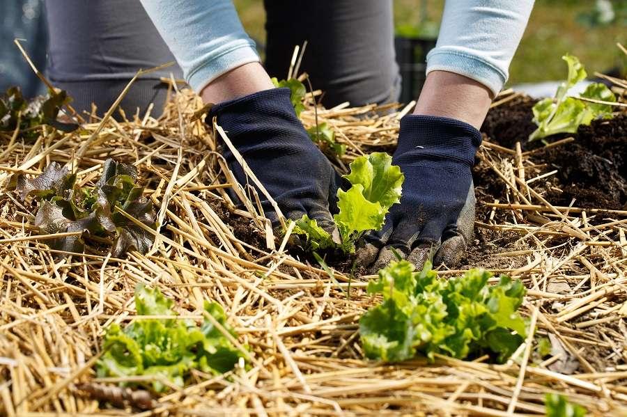 Pailler les salades au potager dès la plantation. © zlikovec, Adobe Stock