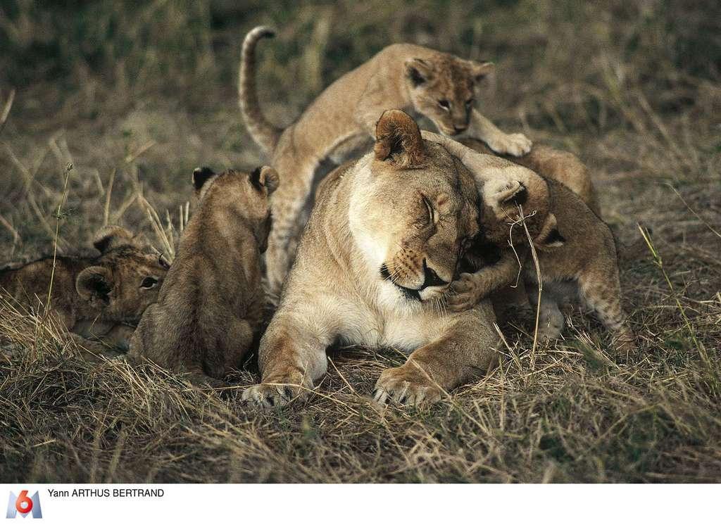 Maléfice et ses lionceaux, réserve nationale du Maasaï Mara, Kenya. © Yann Arthus-Bertrand, tous droits réservés
