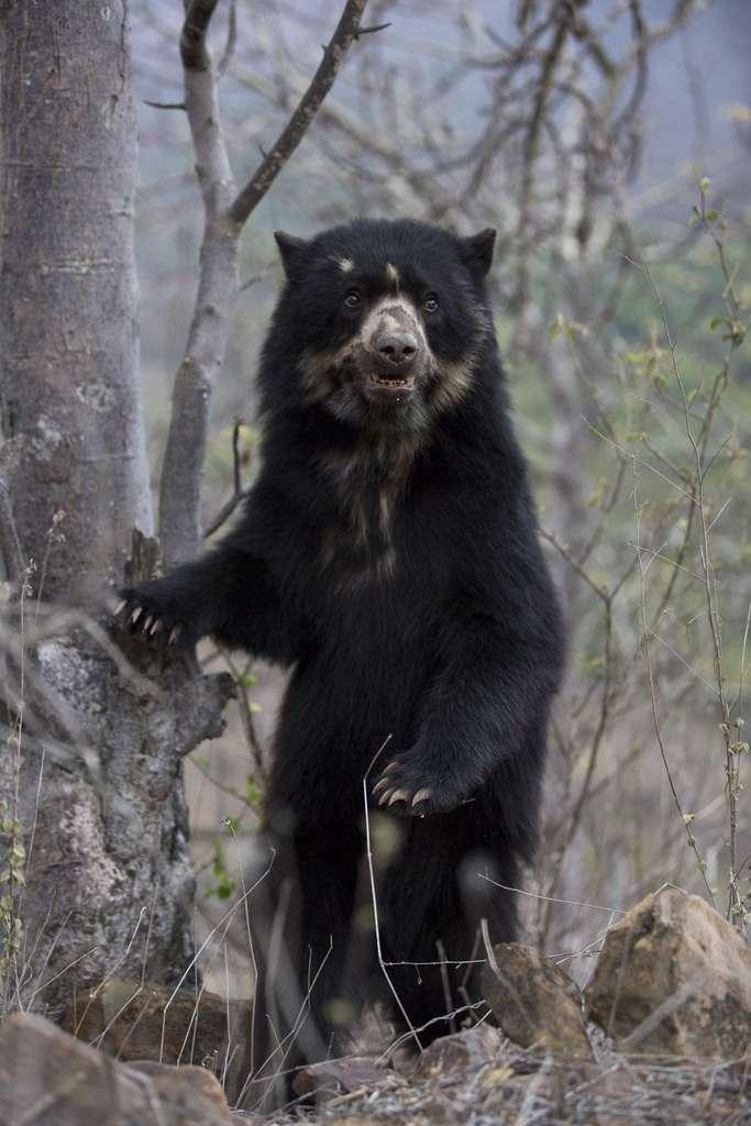 Un ours à lunettes (Tremarctos ornatus), que l'équipe a longuement cherché. © Cyril Ruoso
