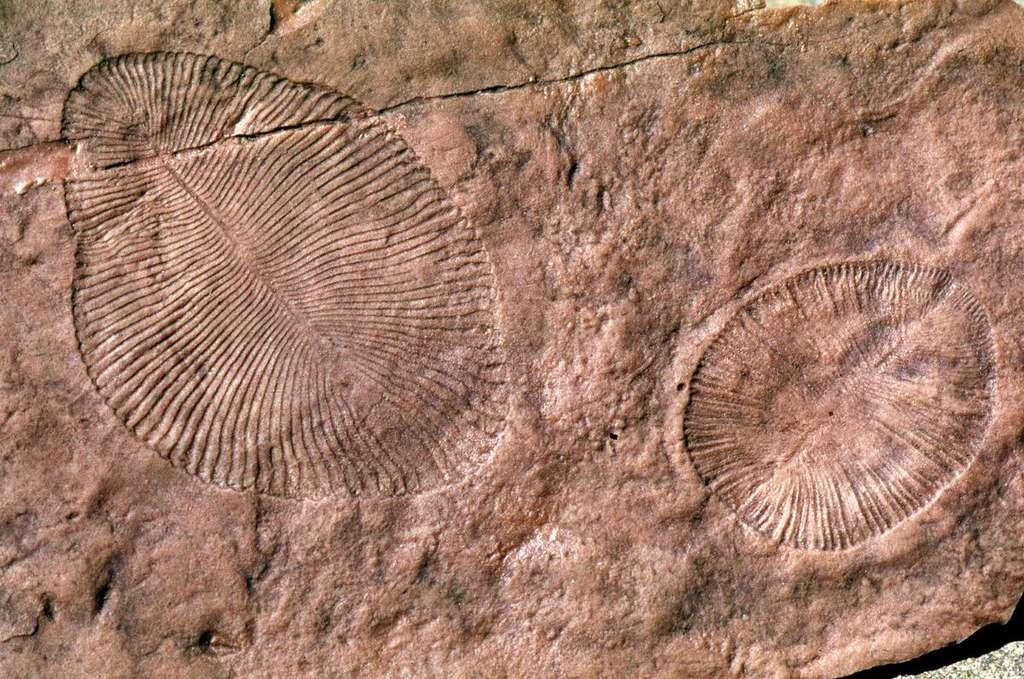 Ces fossiles de Dickinsonia et de Parvancorina ont été mis au jour sur le site d'Ediacara Hills dans le sud de l'Australie. Les paléontologues y voient des vers marins. Mais pour Gregory Retallack, ce sont plutôt des lichens terrestres datant du Précambrien. © Gregory Retallack