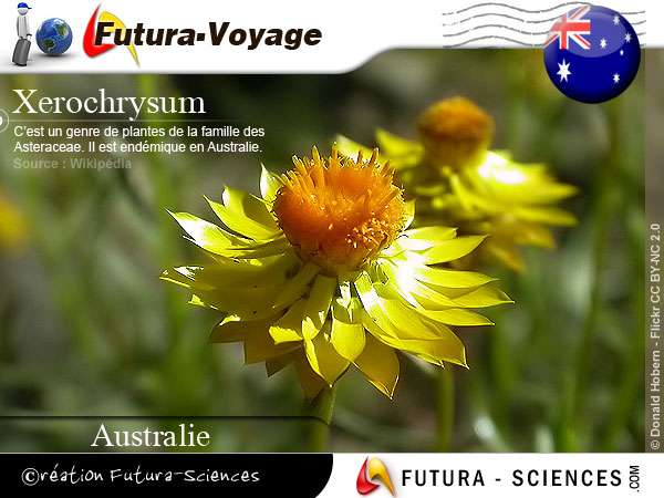 Xerochrysum plante éndémique Asutralie