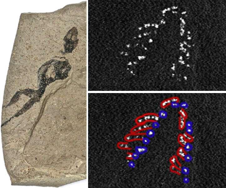 L'image de gauche montre le lézard fossilisé retrouvé dans la formation de la Green River (États-Unis). Lorsque les chercheurs ont envoyé des rayons X sur le fossile de peau de lézard, ils ont découvert des taches avec des concentrations élevées de phosphore (points blancs, en haut à droite) qu'ils interprètent comme les vestiges chimiques de dents (les dents des deux mâchoires sont présentées respectivement en rouge et en bleu, en bas à droite). © Edwards et al., Applied Physics A: Materials Science & Processing